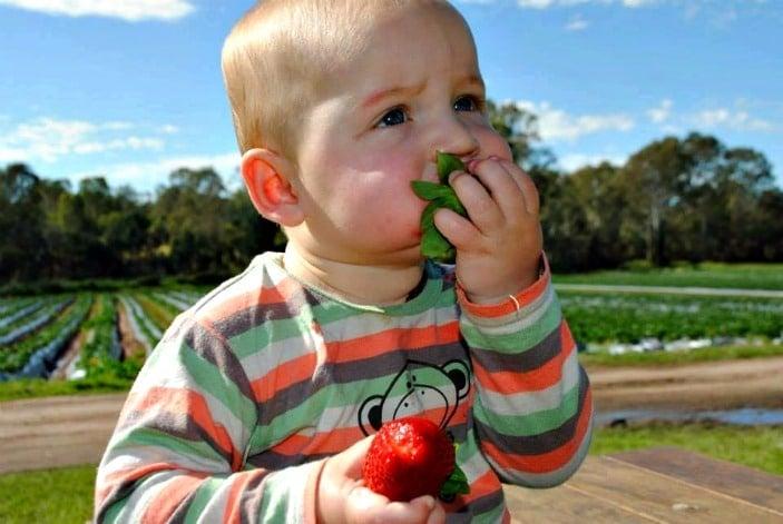 strawberry picking brisbane