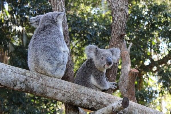 Koalas in tree