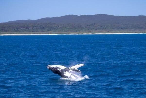 Whale watching near Brisbane