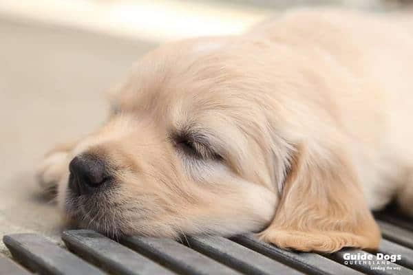 Guide Dogs Queensland