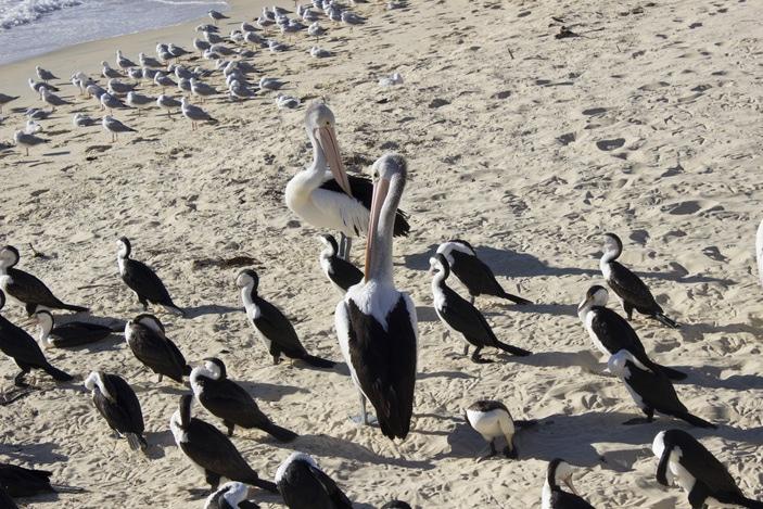 Pelican feeding at Tangalooma