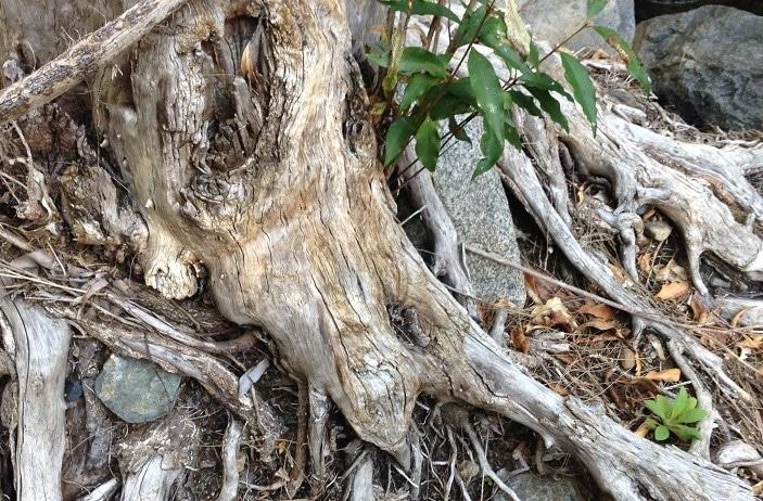 andy williams park tree