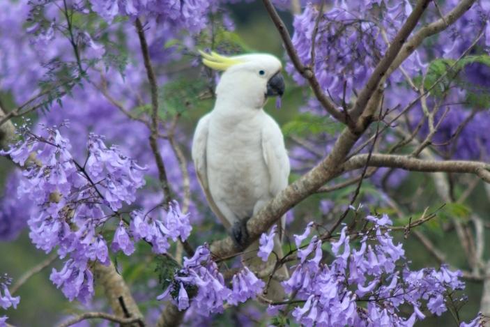 Cockatoo in Jacaranda tree