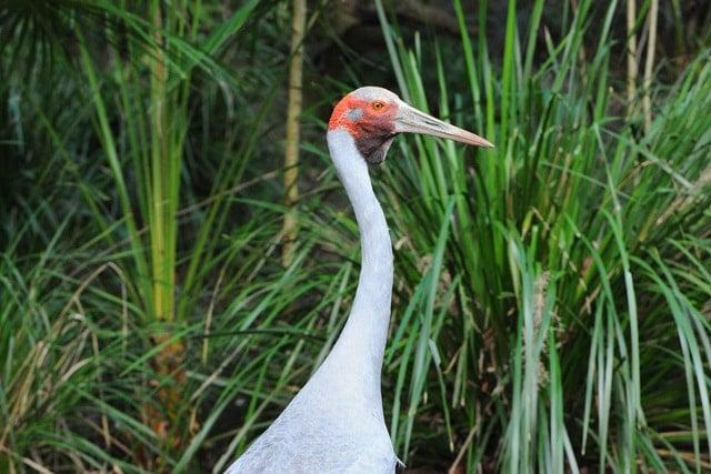 Brolga, Australia Zoo