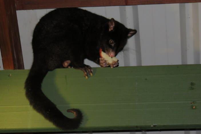 Black possum