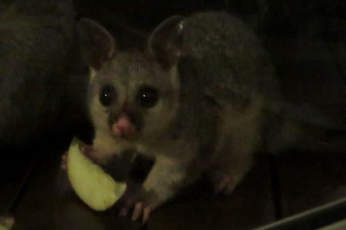 Fun Possum Facts for Kids | Brisbane Kids