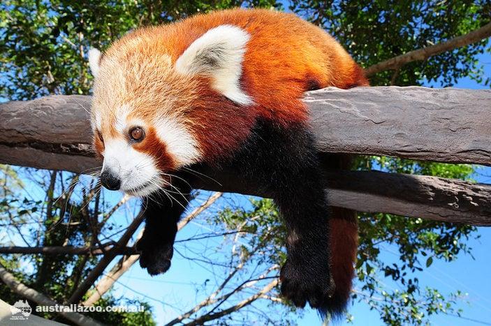 Red panda, Australia Zoo