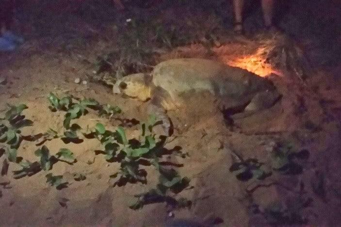 Mon Repos Turtles 4