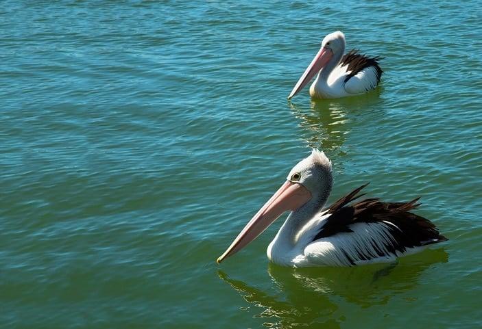 pelican feeding whale one