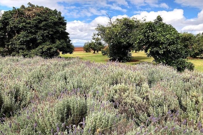 Lavender Farm Kingaroy